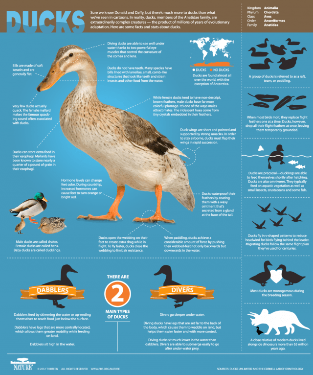 DuckInfographic-Final